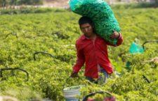 COAGUAYANA, MICHOACÁN, 26ABRIL2015.- Niños y jóvenes jornaleros trabajan en la pisca por 50 pesos al día aproximadamente, algunos de ellos provienen junto con sus familias de otros estados de la republica como Guerrero, Oaxaca y Chiapas, teniendo que soportar varias horas de trabajo para asi poder sobrevivir el día a día. FOTO: JUAN JOSÉ ESTRADA SERAFÍN /CUARTOSCURO.COM