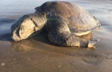 México rebasó en más de diez veces el límite permisible de mortandad de tortugas durante 2020 en BCS